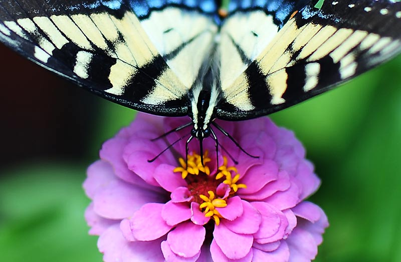 Lundi 26 juillet, après une chaude journée d'été, ce papillon se repose sur une fleur plantée à Silver Spring, dans l'État du Maryland, aux États-Unis.