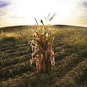Six nouveaux maïs OGM seront commercialisés