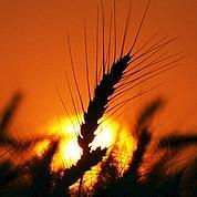 Paris devient la place de référence du blé