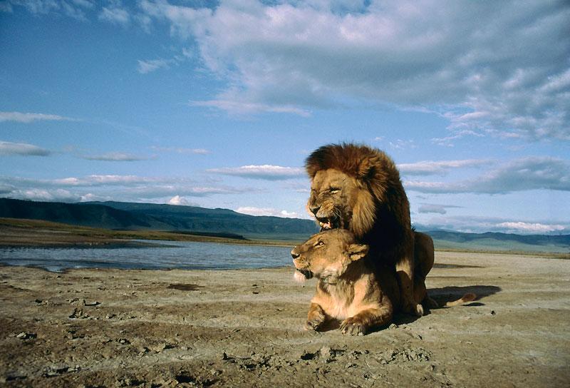 Parvenu à ses fins, le roi des animaux semble tout à son plaisir. Un moment hors du temps que ne partage pas du tout la lionne. Comme tous les félins, le lion fait souvent souffrir sa compagne.