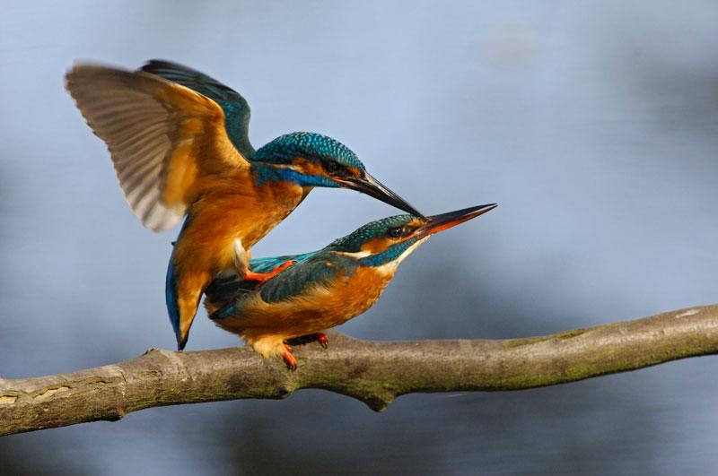 Chez les oiseaux, comme ici chez les martins-pêcheurs, l'accouplement est bref et intense, alors que les manoeuvres d'approche peuvent durer des heures.