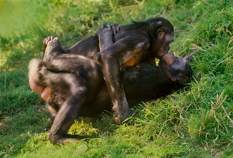 Les bonobos ont des comportements très proches de ceux des humains.