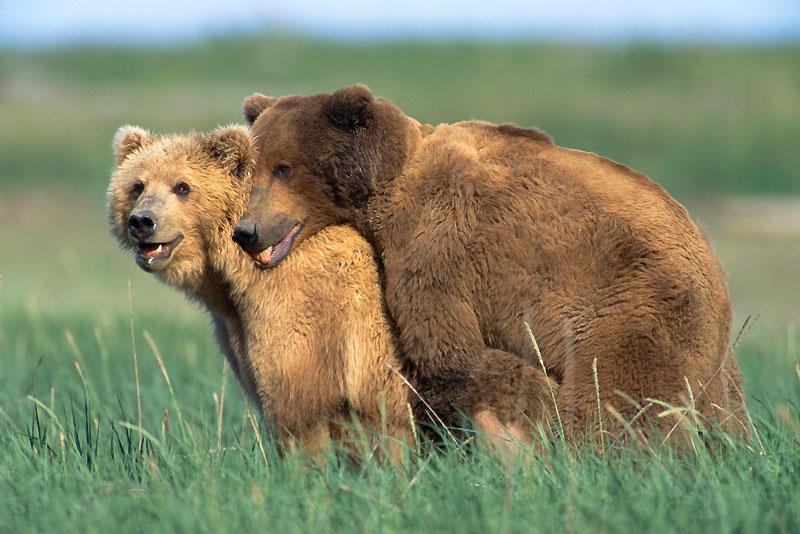 Pour parvenir à ses fins, le grizzly a affronté de nombreux prétendants, puis a séduit sa femelle en lui mordillant le cou et en grognant.