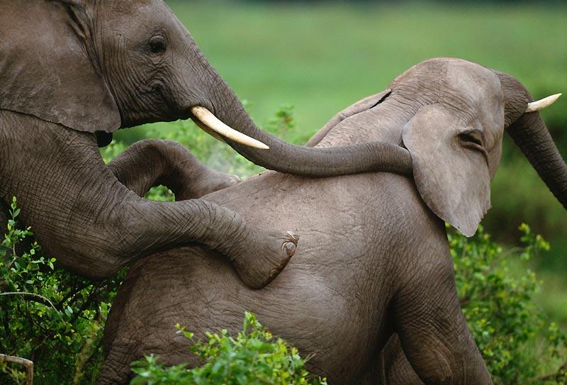 L'éléphant n'a, en moyenne, qu'un rapport sexuel tous les cinq ans. La période de gestation des femelles dure plus de deux ans.