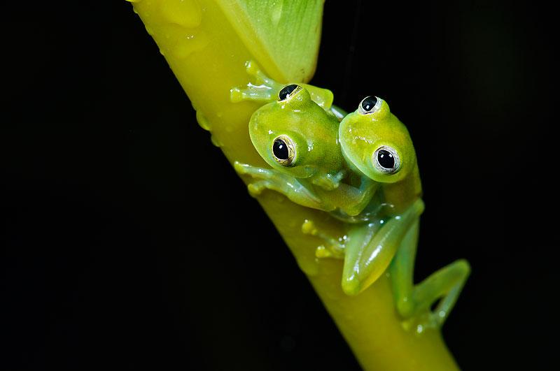 Chez de nombreuses espèces de batraciens, le mâle peut chevaucher la femelle pendant de longues heures.