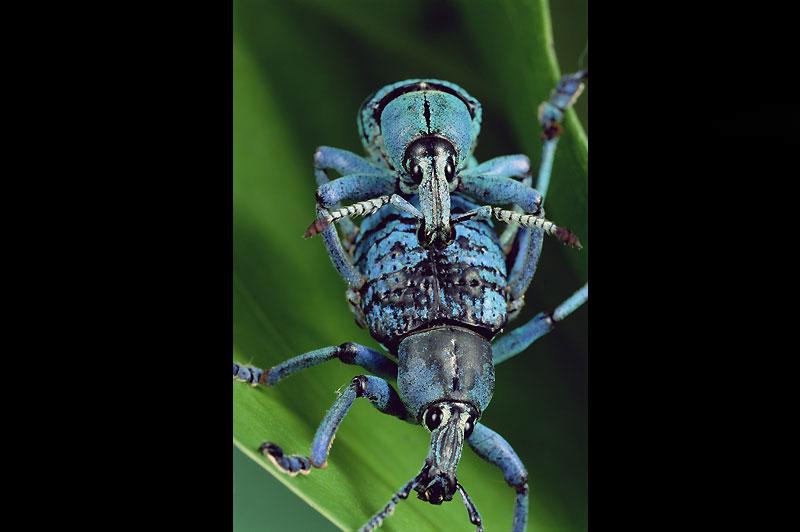 Les insectes, ici des charançons de Nouvelle-Guinée, ont des comportements invariables.