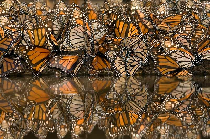 Les papillons ont parfois des moeurs homosexuelles.