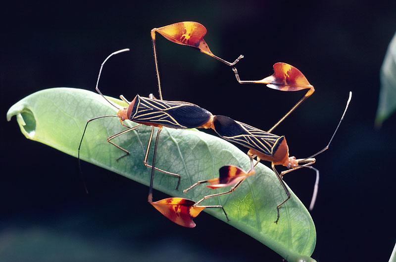 Soudées l'une à l'autre, ces punaises du Costa-Rica («Anisocelis flavolineata») peuvent rester ainsi toute une journée.