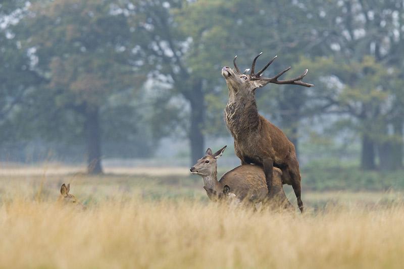 Puissant et fébrile, le cerf peut briser l'échine de la biche sous ses assauts. Un accident qui, heureusement, reste rare.