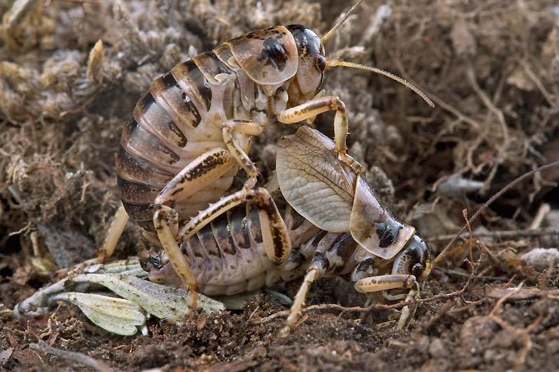Chez ces grillons d'Amérique («Cyphoderris strepitans»), la femelle dévore les ailes du mâle pendant l'accouplement.