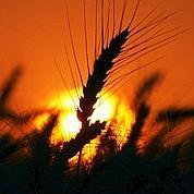 Paris, nouvelle place de référence du blé
