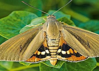 Le Paysandria archon, papillon omnivore, est présent au Portugal, en Espagne, en France, en Italie, en Grèce, en Turquie et même au Royaume-Uni. La femelle ne pond que dans les palmiers. Crédit photo: Christian Sales/Sunset
