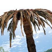 Le sauveur des palmiers