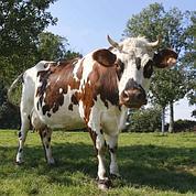 GB : de la viande issue de bétail cloné inquiète