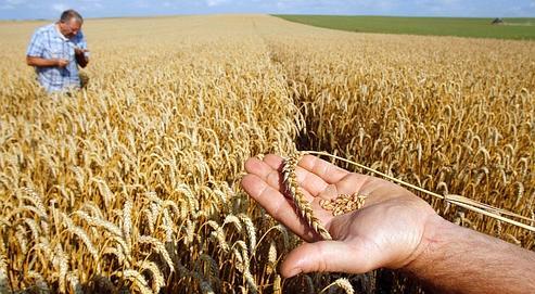 En France (ici à Féchain, dans le Nord), la sécheresse a affecté les rendements. La récolte de blé devrait baisser de 3 % cette année.