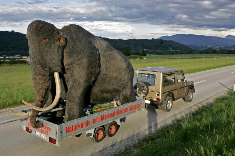 Lle dimanche 8 août, la maquette d'un mammouth fait route vers le musée d'histoire naturelle de Siegsdorf.
