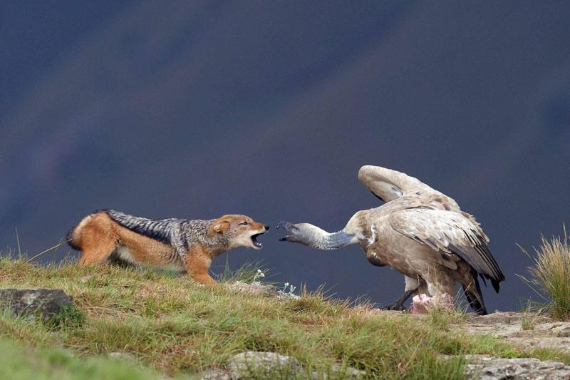 Ces deux là n'avaient pas prévu de jeter leur dévolu sur la même charogne. Ce fascinant duel entre chacal et vautour a lieu dans la réserve de Kwazulu-Natal, en Afrique du sud.