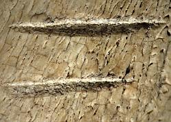 Les entailles sur ces os prouvent l'utilisation, à l'époque, d'outils en pierre pour la découpe de la viande.