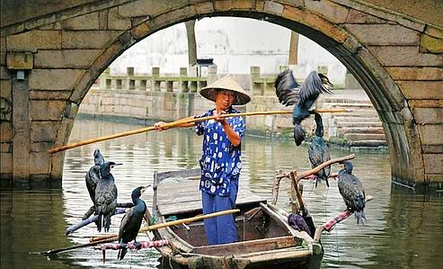 À Tongli, petite Venise chinoise, on pratique toujours la pêche au cormoran dans les canaux.