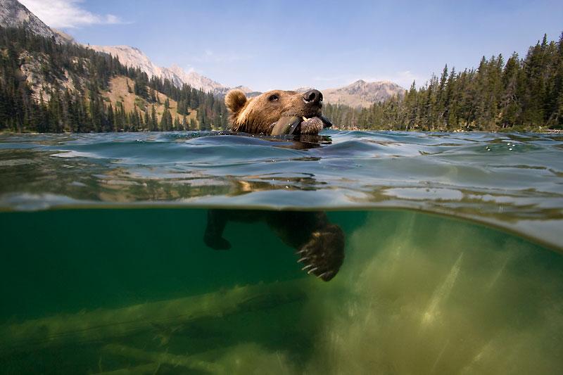 On l'ignore souvent, mais en dépit de sa masse impressionnante, le grizzli des montagnes Rocheuses est un excellent nageur. Et s'il préfère pêcher – ici une truite fardée ! – sans trop se mouiller, en happant les poissons au vol ou en les harponnant d'un coup de griffe, il ne dédaigne pas non plus les pourchasser de façon plus sportive, comme ici, au beau milieu d'un lac. Ce magnifique cliché ne représente donc pour lui qu'une scène de sa vie sauvage ordinaire. Mais il n'en est pas moins exceptionnel ; tant par la splendeur du décor que par le naturel avec lequel le plantigrade a très aimablement posé devant l'objectif, à quelques brassées à peine du canot dans lequel se trouvait le photographe !