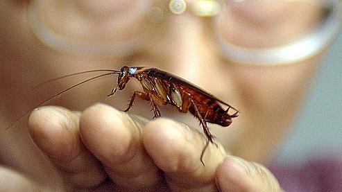 C'est en vivant dans des lieux peu salubres que les cafards ont développé des molécules efficaces contre les bactéries.