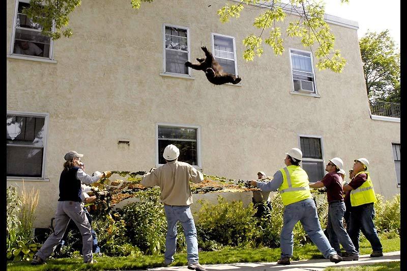 / Ce jeune ours a erré quelques heures dans les rues de la ville de Missoula, dans l'État américain du Montana, début septembre, avant d'être touché par une fléchette de somnifère. Il a été réceptionné, au moment de sa chute, par des hommes venus d'un parc zoologique voisin.