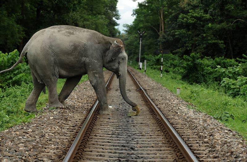 Jeudi 16 septembre, à Siliguri, au Bengale occidental, cet éléphant traverse une voie de chemin de fer.
