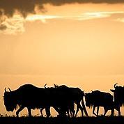 Le parc du Serengeti menacé par une route