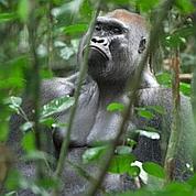 Malaria: les gorilles ont contaminé les humains