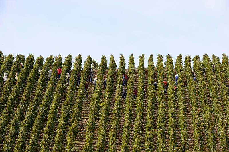Mercredi 29 septembre, à Ampuis, ville située au sud de Lyon, les vendanges se sont poursuivies sur les pentes abruptes de côtes-rôties. Cette année, les récoltes ont débuté il y a quelques jours seulement, le raisin manquant encore un peu de soleil.