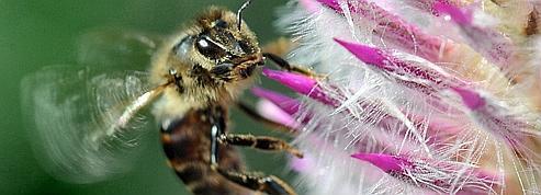 La disparition des abeilles aux États-Unis élucidée