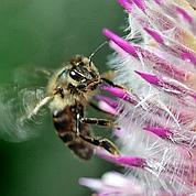 USA : la disparition des abeilles élucidée