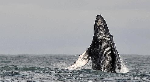 Migration record pour une baleine à bosse   02506354-d774-11df-8356-f07e5f08fba2