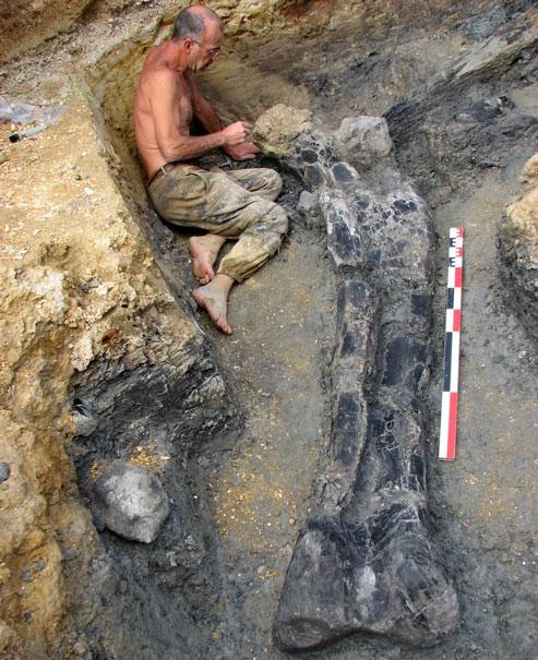 L'énorme fémur de dinosaure découvert à Angeac-Charente mesure 2,40 m de long. L'animal devait atteindre 40 mètres pour un poids de 35 tonnes. Crédits photo : GrandAngoulême 2010 - P. Blanchier.