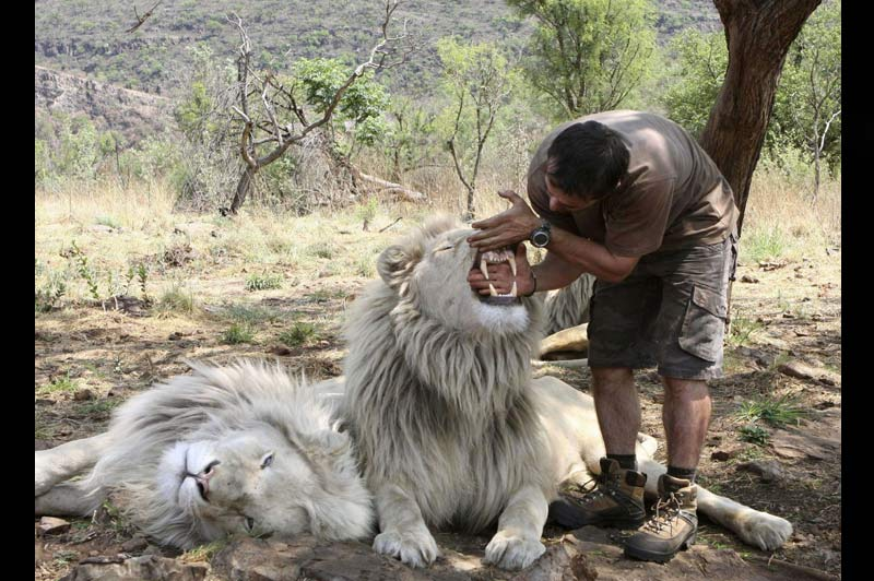 Dans sa réserve près de Johannesburg, en Afrique du Sud, le 11 octobre, Kevin Richardson ne craint pas de mettre sa main dans la gueule du lion pour mesurer la taille de ses dents. Ce dresseur élève depuis plusieurs années trente-huit fauves et les connait mieux que personne.