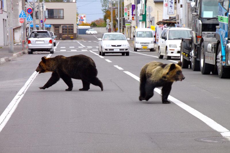 Les automobilistes circulant sur une avenue de la ville de Shari, au Japon, ont rencontré d'étranges visiteurs : deux ours. Les attaques de plantigrades sont en nette augmentation, un phénomène attribué au changement climatique et aux modifications de leur habitat.