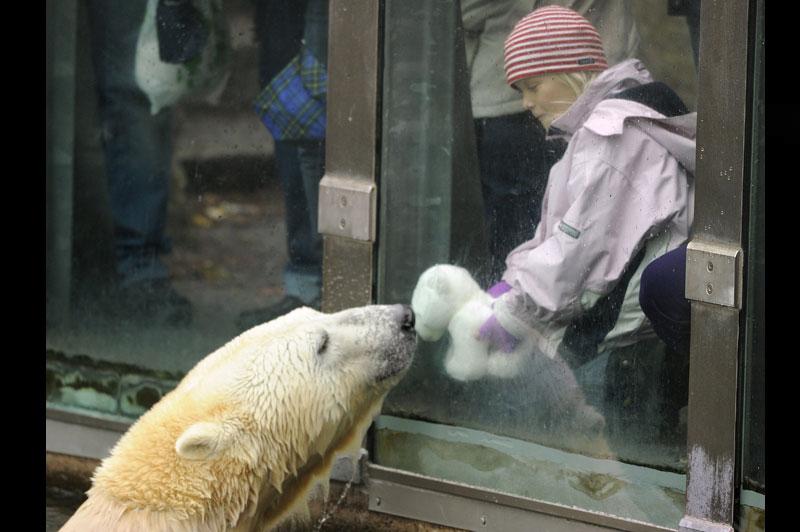 Mardi 19 octobre, à Berlin, dans le plus ancien parc zoologique d'Allemagne, une fillette assiste à un face-à-face quelque peu insolite entre l'ours polaire nommé Knut et sa copie en peluche.