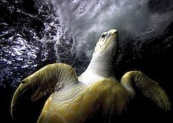 Une tortue luth, espèce en danger d'extinction.