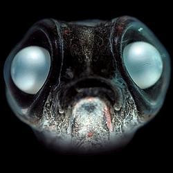Le«Bathylagus». Découvert dans l'Atlantique sud, aux confins de l'Antarctique, ce poisson sorti du fond des âges semble avoir remplacé ses yeux par deux perles.