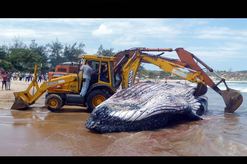 La baleine à bosse de douze mètres de long et pesant 25 tonnes, qui s'est échouée lundi sur une plage de Buzios au Brésil est morte jeudi 28 octobre. Les baleines migrent du nord de l'Antarctique pour s'accoupler au large de la côte à cette période.