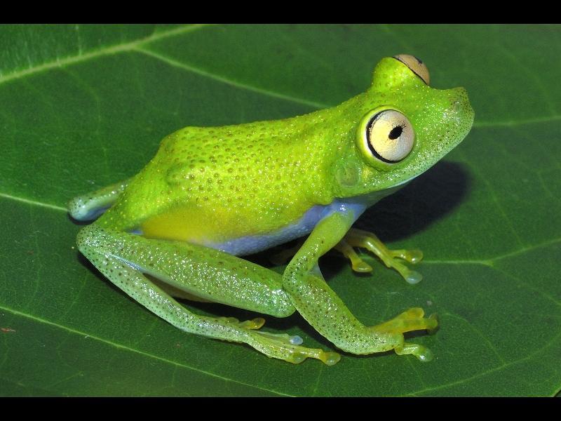 Originaire de Guyane, Hypsiboas liliae tient son nom de la fille de son découvreur, Lili Kok, qui fit la description de cette nouvelle espèce en 2006.