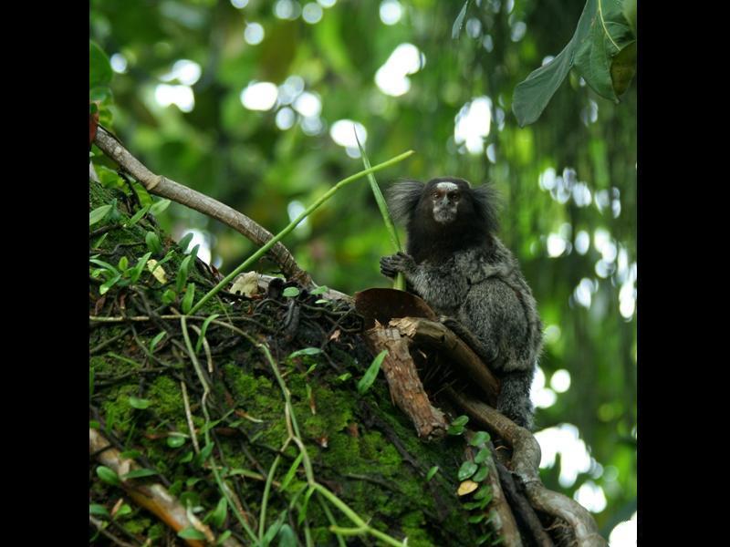 Ce ouistiti (Mico acariensis), découvert en 2000, est un quadrupède ne pesant pas plus d'un demi-kilo à l'âge adulte. Sa queue d'une trentaine de centimètres est plus grande que son corps (une vingtaine de centimètres). La découverte de mammifères reste rare : seules 39 nouvelles espèces ont été découvertes depuis 1999 dans cette région pourtant riche en biodiversité inconnue.