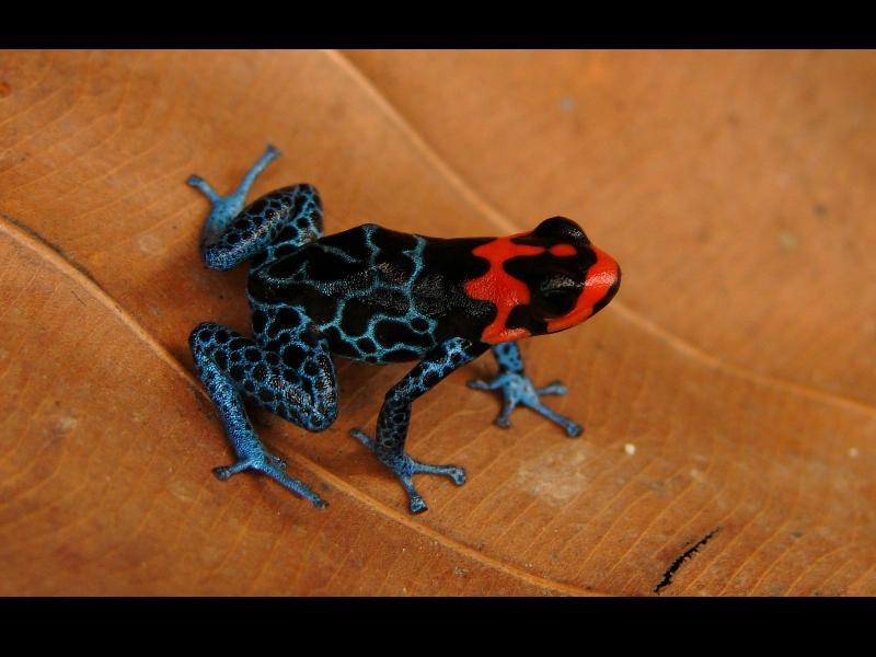 Cette espèce découverte en 2008 vient du Pérou. Comme la plupart des membres de cette famille, sa couleur est une mise en garde : elle est recouverte d'un poison dont la toxicité serait liée à sa consommation d'insectes venimeux. Placé dans un environnement sain, le batracien devient donc inoffensif.