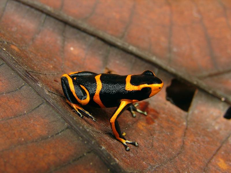 Ranitomeya summersi est une cousine de Benedicta (photo précédente) découverte au même moment, dans la même région (Pérou, 2008). Au total, 216 amphibiens ont été découverts en 10 ans dans la région.