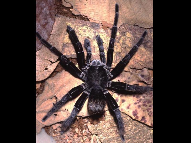 Pamphobeteus crassifemur est une araignée très poilue découverte au Brésil en 2008. Ses poils sont particulièrement urticants.
