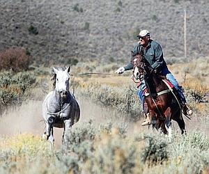 Quand les chevaux sauvages esquivent le piège, des cow-boys les attrapent avec un lasso. (Georges Mérillon)