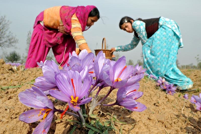 Jeudi 4 novembre, dans une ferme de Pampore, à la périphérie de Srinagar, au Cachemire, ces femmes participent à la cueillette du safran.