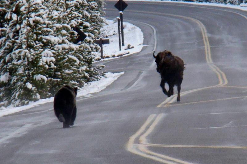 Début novembre, un automobiliste qui circulait sur une route du parc naturel de Yellowstone, aux États-Unis, a assisté à une scène inhabituelle : un grizzli poursuivant un buffle sur la chaussée. Le bovidé a finalement réussi à s'enfuir dans les bois.