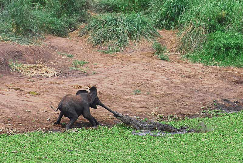 <b>LA JUNGLE DU LIVRE</b>. Il est rare que le genre animal se conforme aux fables écrites par les hommes. La lutte entre cet éléphanteau et ce crocodile, immortalisée par un photographe amateur dans le fameux Parc Kruger en Afrique du Sud, illustre trait pour trait le conte du grand Rudyard Kipling intitulé <i>L'Enfant d'éléphant</i>. L'écrivain anglais raconte que ces pachydermes sont dotés d'un long appendice nasal parce qu'un jour, un jeune éléphant trop curieux a voulu savoir ce que mangeaient les crocodiles. Un reptile l'a alors attiré vers lui et a tenté de le précipiter dans l'eau en le tirant par le nez. Dans la bagarre, celui-ci s'est allongé jusqu'à devenir une trompe. L'éléphant de la photo a été sauvé par les siens.