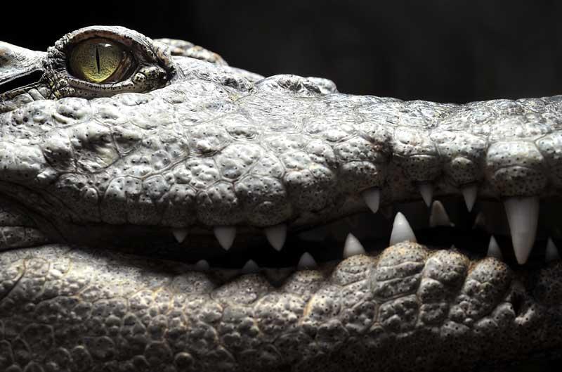 Ce crocodile Siamois est photographié au Tropiquarium de Servion, près de Lausanne, début novembre. Cette espèce est aujourd'hui l'une des plus menacées au monde.